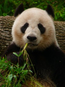 Panda eating bamboo Charlotte Divorce Attorney North Carolina Family Law Lawyer