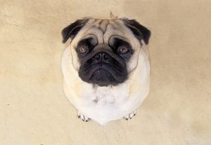 Pug picture Charlotte Divorce Lawyer
