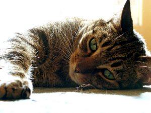 Sleeping-cat-Charlotte-Divorce-Lawyer-300x225